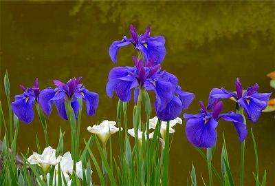 s-奈良の滝谷花ショウブ園