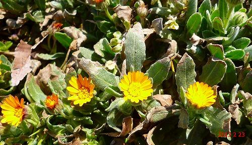 s-130223黄色の花