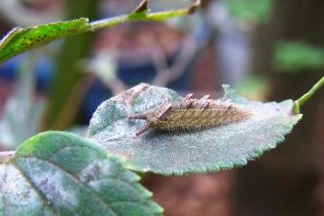 20141105オオムラサキ幼虫 (4)