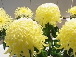 111101菊祭り