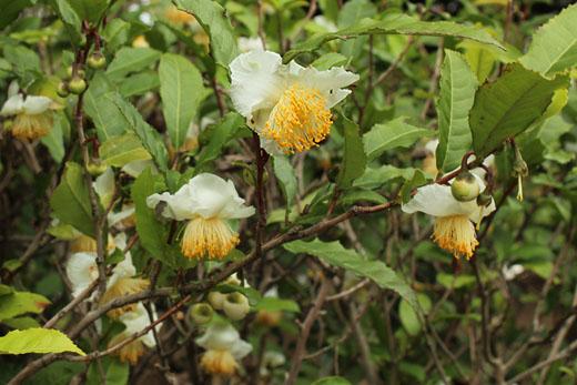 チャノキの花と蕾111013
