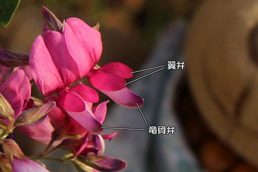 花弁の説明 111018