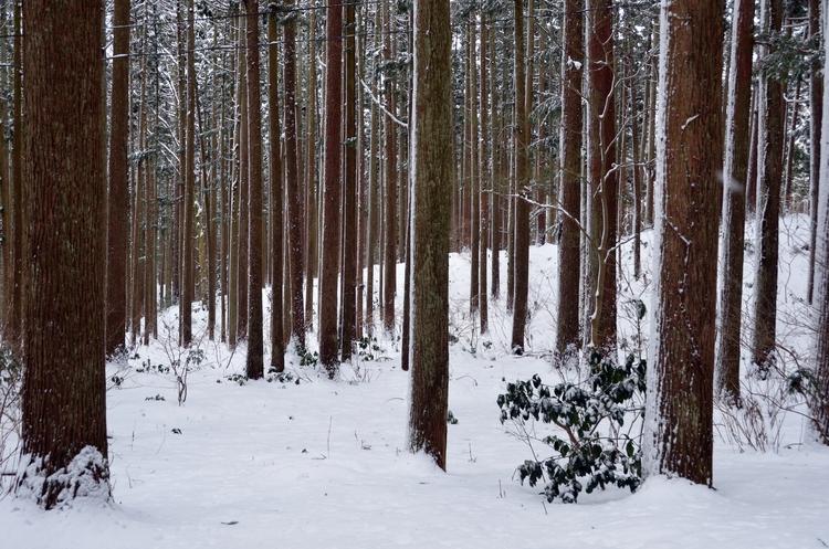 雪の杉林-1