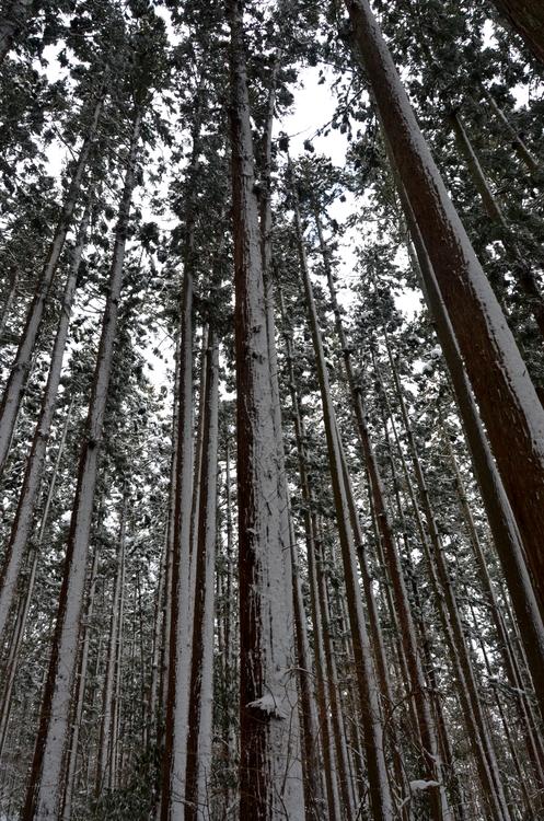 雪の杉林-2