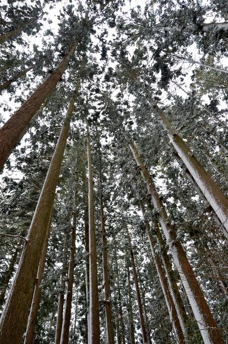 雪の杉林-3