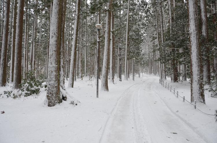 雪の杉林-4