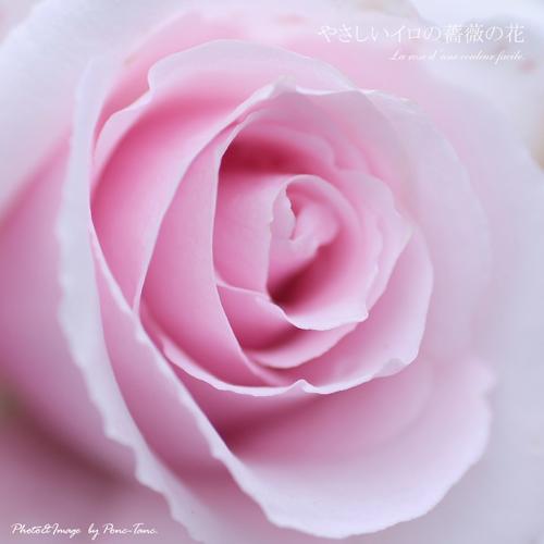 やさしいイロの薔薇の花