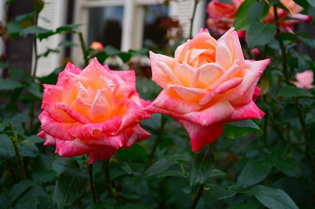 旧古河庭園のバラ 006