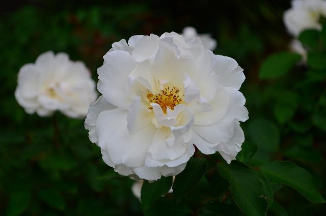 旧古河庭園のバラ 010