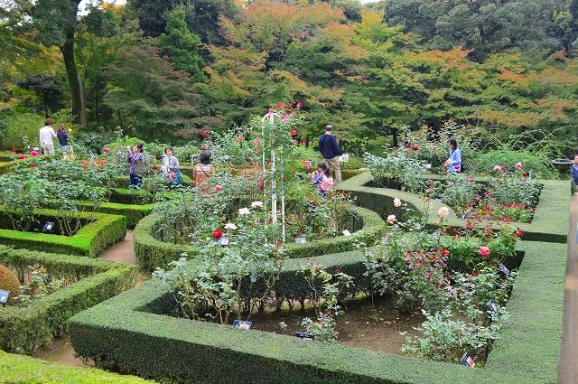 旧古河庭園のバラ 012