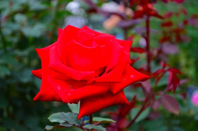 旧古河庭園のバラ 019