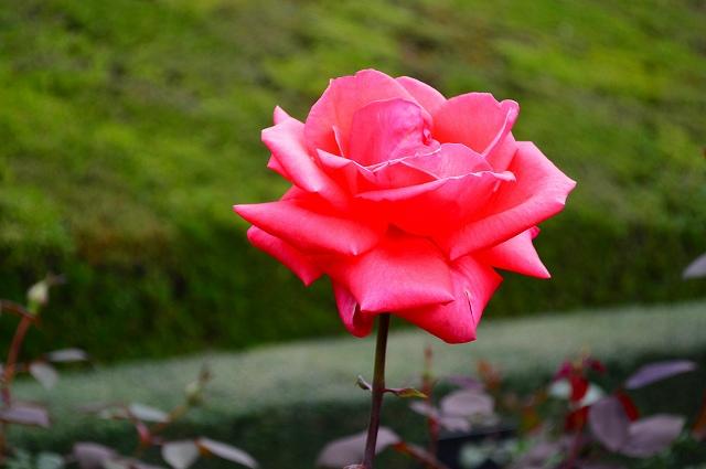 旧古河庭園のバラ 016