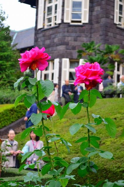 旧古河庭園のバラ 028