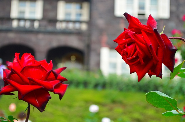 旧古河庭園のバラ 022