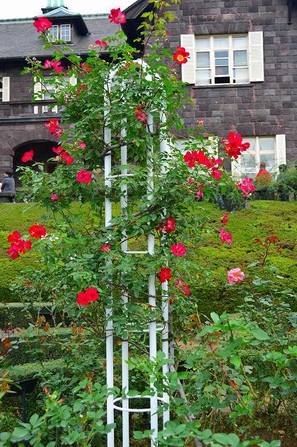 旧古河庭園のバラ 024