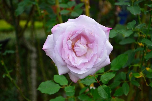 旧古河庭園のバラ 035