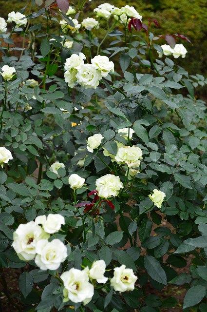 旧古河庭園のバラ 029