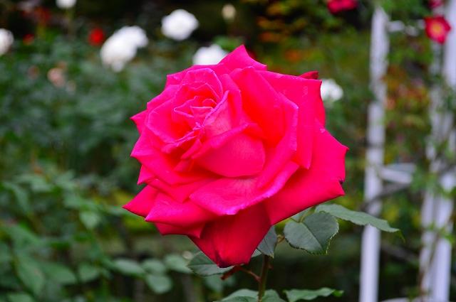 旧古河庭園のバラ 033