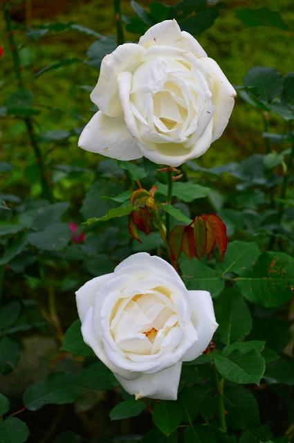 旧古河庭園のバラ 046