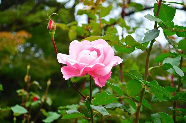 旧古河庭園のバラ 039