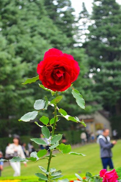 旧古河庭園のバラ 049