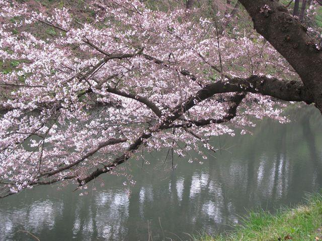 4.24-4鶴ヶ城の桜-4