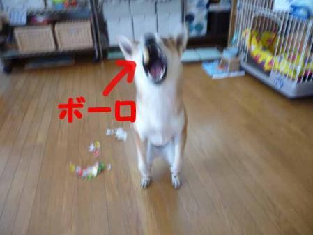 P1210207-AZUKI.jpg