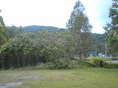 グリーンヒルズ倒木