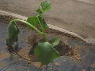 きゅうり植え