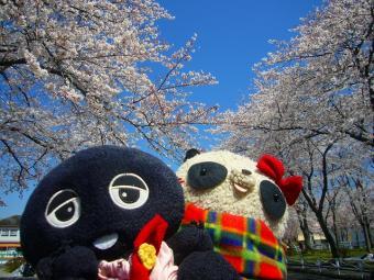 ばぶクロ桜にうっとり