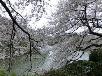 千鳥ヶ淵桜