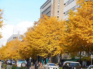 日本大通り黄葉1