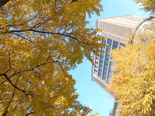 日本大通り黄葉3