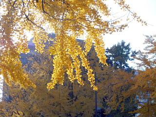 日本大通り黄葉5