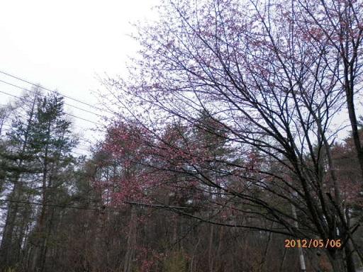 バラギ高原の桜開花