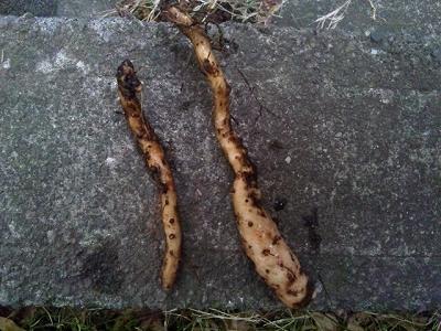 自然薯(一本折れちゃった・・・)