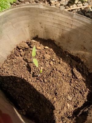 発芽したマイクロトマト