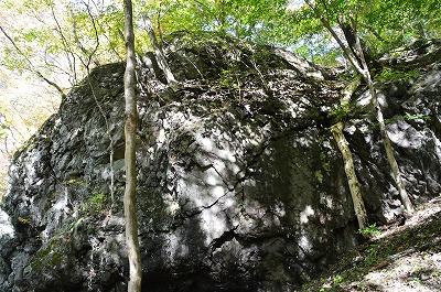 岩にめり込んだ木