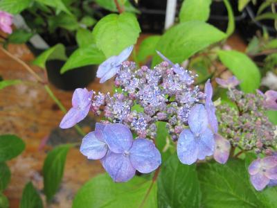 20100525花緑フェア11(再作成)