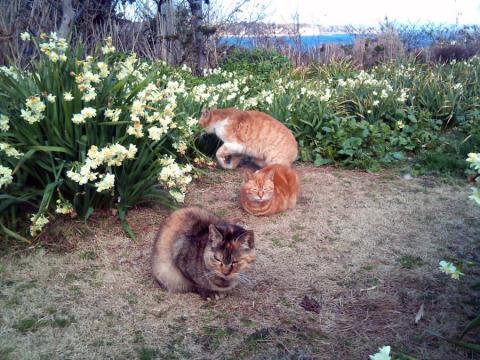城ヶ島のネコ2