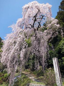梅岩寺の枝垂桜2