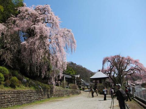 梅岩寺の枝垂桜1