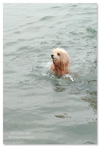 トイプードル,水泳