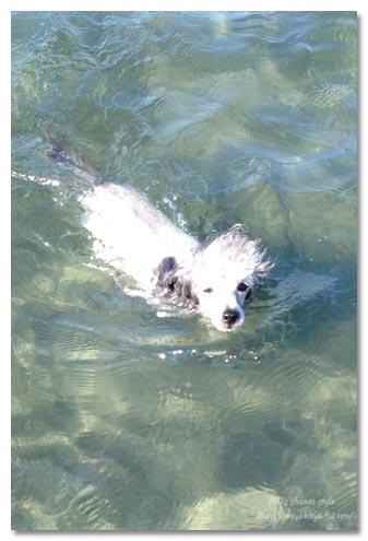泳ぐトイプードル