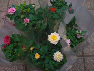 鉢花クーポン:ミニバラ