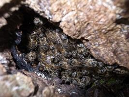 ニホンミツバチの自然巣