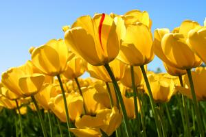 Tulips_convert_20110406105814.jpg