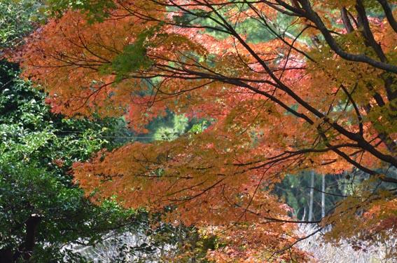 momiji_20141122_DSC_6234.jpg