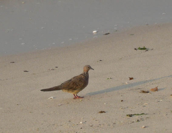 spotted_dove_07_053.jpg
