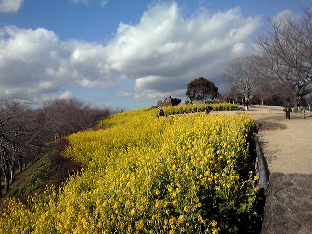菜の花畑、黄色の絨毯